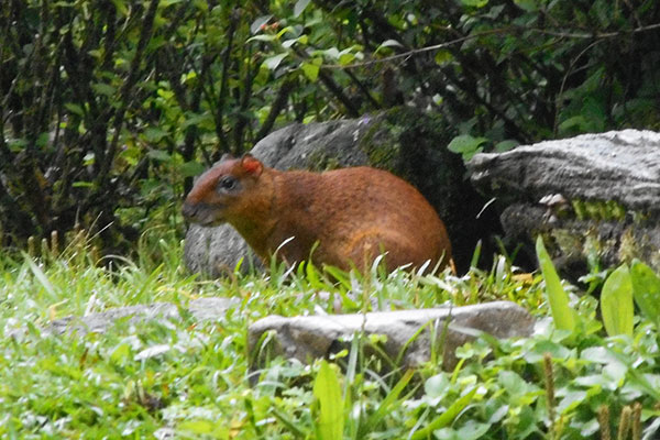Agouti on grounds