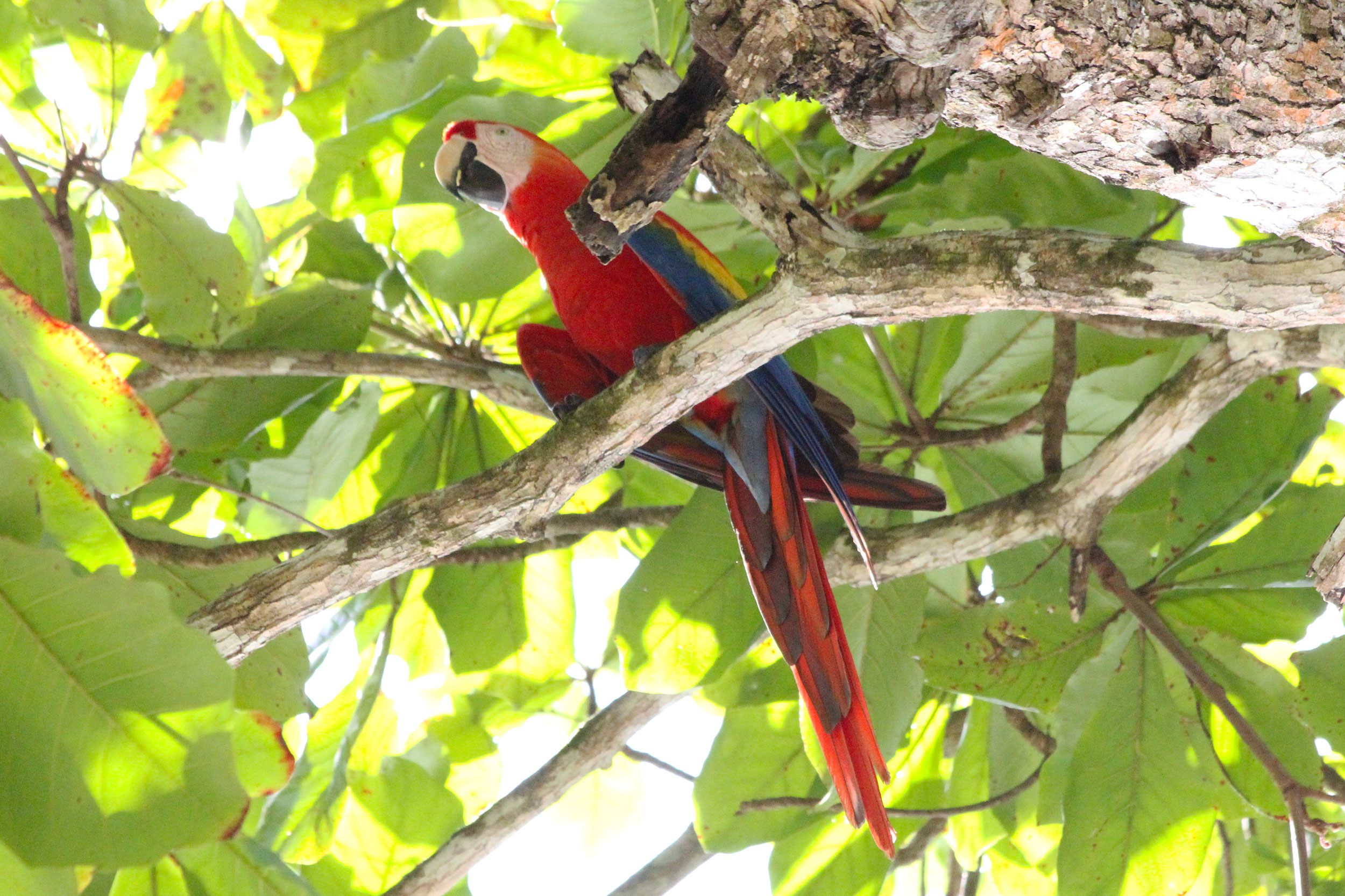 Scarlet Macaw on grounds