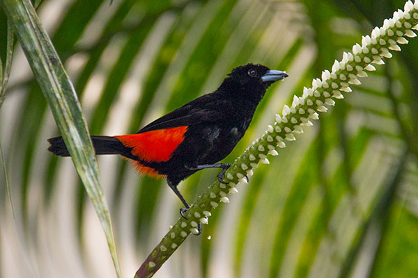 Passerinis Tanager on grounds