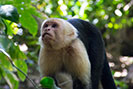 Capuchin or White Faced Monkey at Manuel Antonio Park
